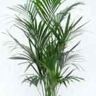 Howeia foresteriana 'Kentia'