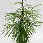Ficus binnendijkii 'Amstel Gold'
