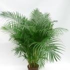 Areca lutescens (Chrysalidocarpus)