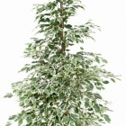 Ficus benjamina 'De Gantel'