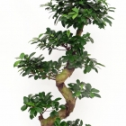 Ficus microcarpa 'Bonsai'