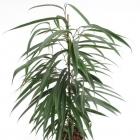 Ficus binnendijkii 'Alii'