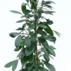 Ficus cyathisthipula
