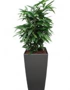 Ficus binnendijkii Amstel King