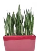Sanseveria ceylanica