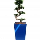 Promo_4075_blau_Ficus_microcarpa_160cm