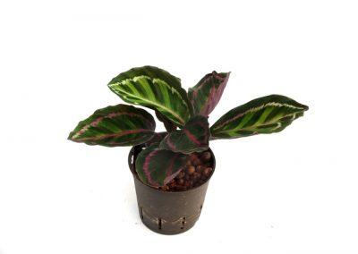 Calathea rosea picta
